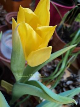tulip Yokohama