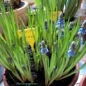 Cantik ya Blue Grape Hyacinth. 02 Feb 2013