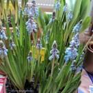 Muscari or Grape Hyacinth. 05 Feb 2013