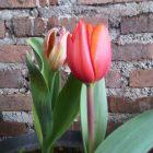 Tulipnya Lea