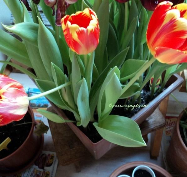 My Apeldoorn Tulips
