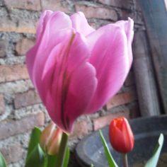 Cantik ya Tulip Milik Lea di Jawa Tengah