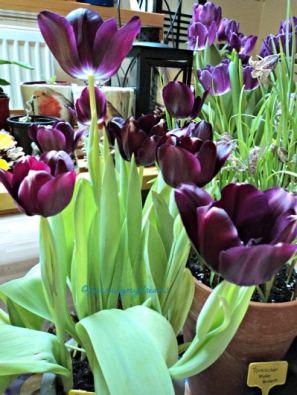 Black Tulip Flowers. Tulip Hitam