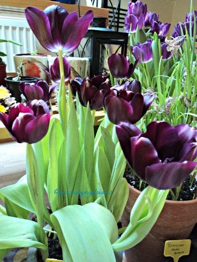 Inilah The Queen of Night Tulip