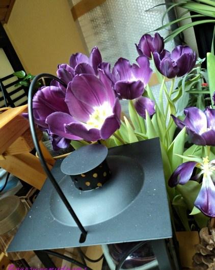Cantiknya Tulip Ungu Purple Prince Tulip