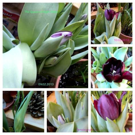 Beautiful The Queen of Night Tulips 9 dan 10 Februari 2013