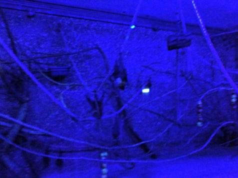 Berhubung kalong hidup di tempat gelap, makanya ruangan ini dikasih lampu biru