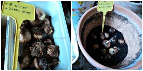Bibit Bunga Gladiol. Warna Bunga Nantinya Campuran. Foto Kiri setelah direndam 24 jam. Foto Kanan Umbi siap di tanam. Sudah ada yang mulai tumbuh