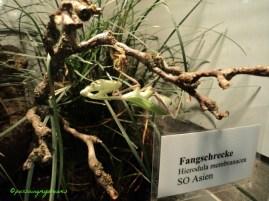 Belalang Raksasa Asia Hierodula membranacea @Zoologi Wlhelma Stuttgart