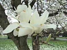 Kelopak Bunga Yulan-Magnolie (Magnolia denudata)
