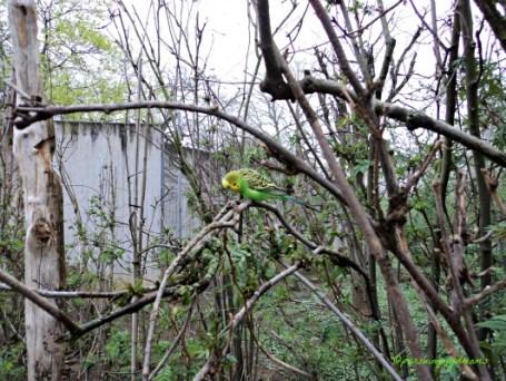 Burung Parkit @Wilhelma Stuttgart kita bisa masuk ke kandangnya yang besar