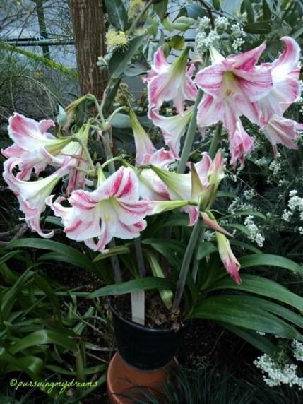 Cantiknya Amaryllis. Wilhelma Stuttgart