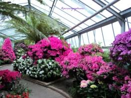 Saliyah atau Azalea adalah jenis tanaman berbunga dari keluarga Ericaceae dan genus Rhododendron yang tumbuh di wilayah beriklim sedang