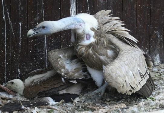 Jangan mendekattt sang induk melindungi anaknya. Gänsegeier. Fotos by: Wilhelma