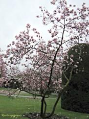 Magnolia × soulangeana bunganya besar, 10-20 cm (4-8 inci), dan diwarnai berbagai nuansa putih, pink, dan ungu