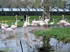 Flamingo Pink bisa bawa pulang ga yaa cakepp. The Greater Flamingo. Rosaflamingo (Phoenicopterus roseus) @Wilhelma Suttgart