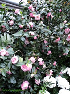 Camellia Japonica needs a protected, bright to partial shade with no direct sun radiation. The best place with these conditions, for example the conservatory or the greenhouse