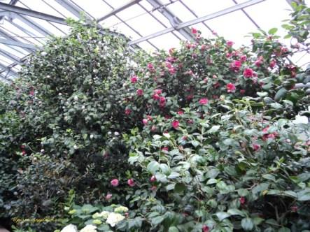 Bunga Kamelia biasanya besar dan mencolok, Ukurannya satu sampai 12 cm, dengan 5-9 kelopak
