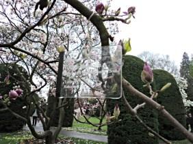Tulpen Magnolie. Wilhelma Stuttgart