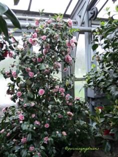 Berbagai jenis tanaman camellia umumnya beradaptasi dengan baik terhadap tanah asam kaya humus, dan sebagian besar spesies tidak tumbuh dengan baik pada tanah berkapur atau tanah kaya kalsium lainnya