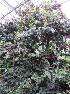 Camellia Hiemalis Kanjiro Diperkenlakan di Jepang tahun 1954