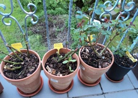 Beli 3 Macam Bunga Mawar sudah mulai pada tumbuh daun-daunnya. Paling Kanan Mawar tahun lalu dari Belanda. Foto 9 Mei 2013