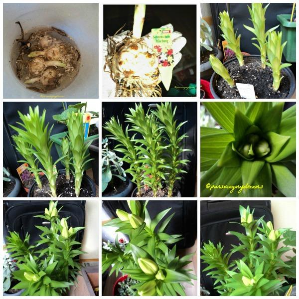 Pertumbuhan Bunga Lili dari Bibit. Tanam 2 Maret 2013 Lili Asiatic
