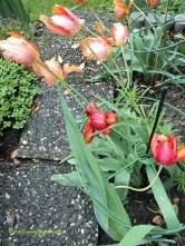Tulip di Taman Mama Mertua ku