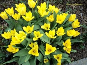 Sekumpulan Tulip Kuning