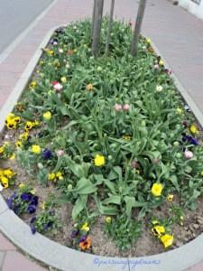 19 April 2013 Tulip-tulip Belum Kelihatan Bunganya