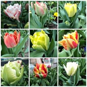 Beautiful Tulips Double Mix