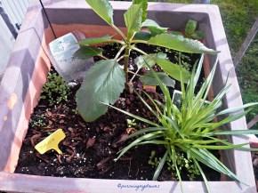Pot isi 2 Jenis Bunga Dahlia dan Liatris Spicata Putih, kombinasi dengan bunga-bunga ukuran pendek, belum kelihatan bunganya ya