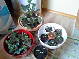 Pot Merah & Coklat ini Budidaya Kalanchoe, tinggal potong dari induknya, tanjamkan di tanah tumbuh deh