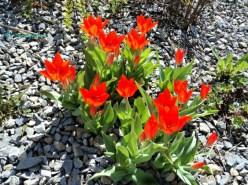 Tulip Warna Merah Membara
