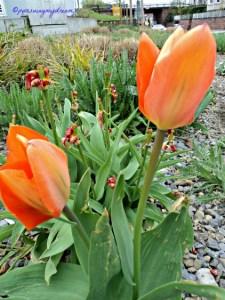 Tulip Orange di Pinggir Jalan