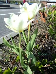Tulip Putih di Depan Pom Bensin. Jerman April 2013
