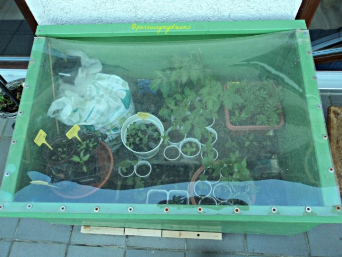 Frühbeet alias Cold frame alias Greenhouse Mini Di Buatin Suami tahun lalu