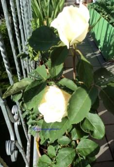 Mawarku yang sudah Berbunga. Edelrose Virgo. Mataharinya terlalu terang jadi tidak jelas bunganya