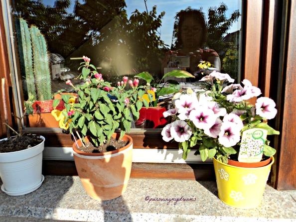 Fuchsia dan Petunia. Pas beli belum bebrunga sekarang suburr