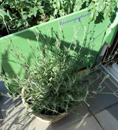 Lavandula angustifolia (lavender atau English lavender)