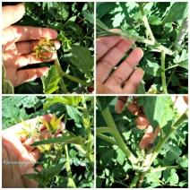 Tomat-tomatku sudah banyak bunganya, semoga jadi tomat semua