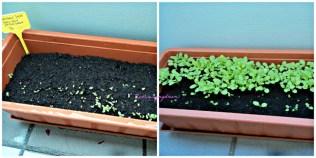Kiri Tanam 2 macam Salad pada 5 Juni 2013, dalam 3-4 hari mulai pada Tumbuh. Foto Kanan 17 Juni, saladnya makin besar