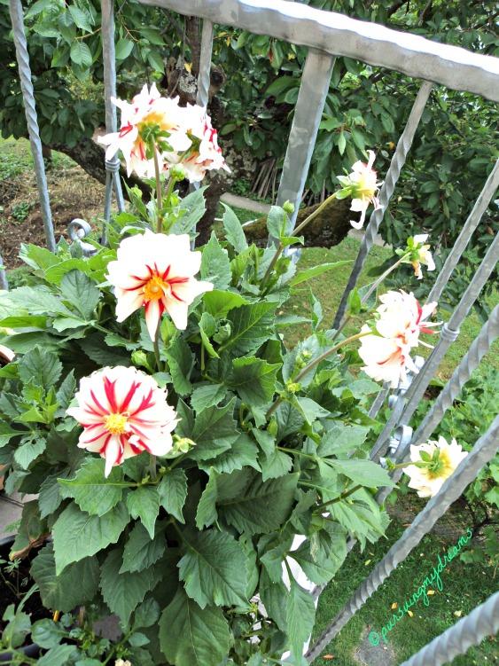 Tips Penanaman Dan Perawatan Bunga Dahlia Pursuing My Dreams