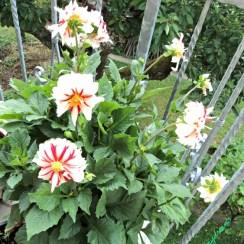 Bunga merah Putih