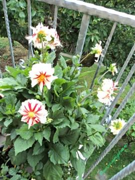 Bunga merah Putih. Si cantik bunga Dahlia
