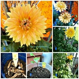 Dahlia Kuning Orange. Schmuck-Dahlie Noordwijks Glorie