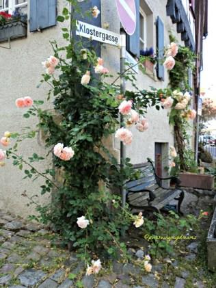 Mawar Merambat