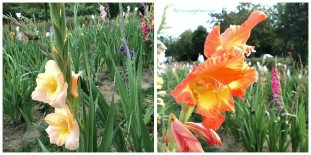Beautiful Gladiol Flowers