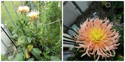 Bunga Dahlia Jenis Kaktus Park Princess