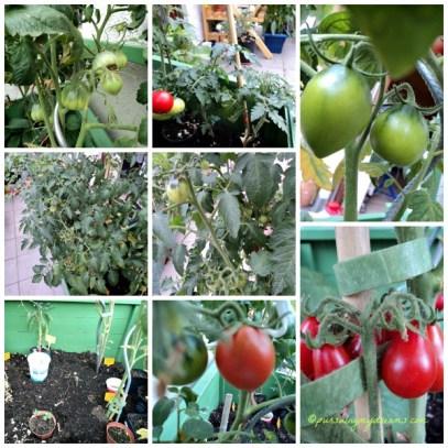 5 Jenis Tomat ada tomat daging, tomat lonjong, bulat, cherry dan tomat bentuk buah Pir